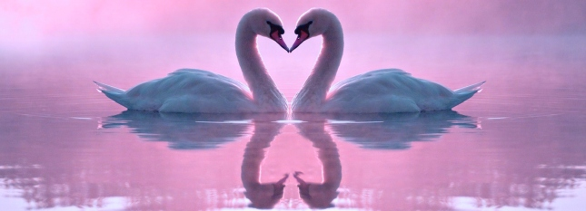 two-swans-in-love-wallpaper-3